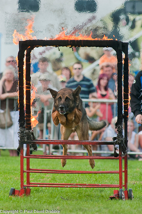 Rotherham Show in Clifton Park on Sunday <br /> Rockwood Dog Display Team  Alsatians hurdles through flaming hoops and recovers a burning dumbbell which he then returns to his handler<br /> 9 September 2012<br /> Image © Paul David Drabble