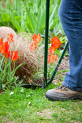 Clipping a lawn edge with long handled shears.