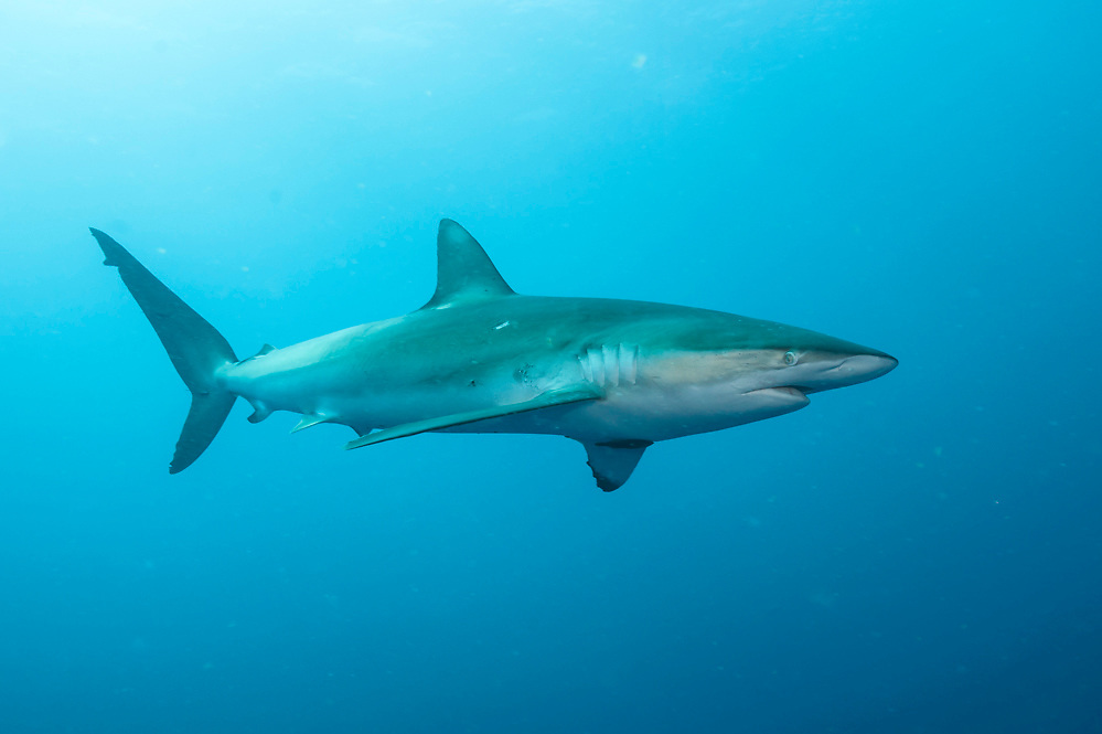 A Dusky Shark, Carcharhinus obscurus, swims offshore Jupiter, Florida, United States. IUCN Red List