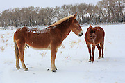 Mules in Paradise Valley, Montana.