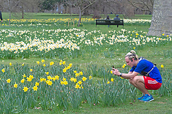 © Licensed to London News Pictures 16/03/2021. Greenwich, UK. A jogger stops to snap the flowers. Spring Daffodils at Greenwich Park in London today as the Met Office forecast for the next few days is sunshine with some rain across the UK. Photo credit:Grant Falvey/LNP