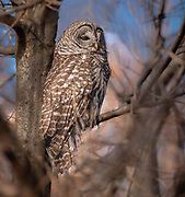 Barred owl in CP, NYC