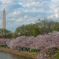 The Washington Monument towers over tourists walking under blooming cherry trees beside the Tidal Basin in Washington, D.C.