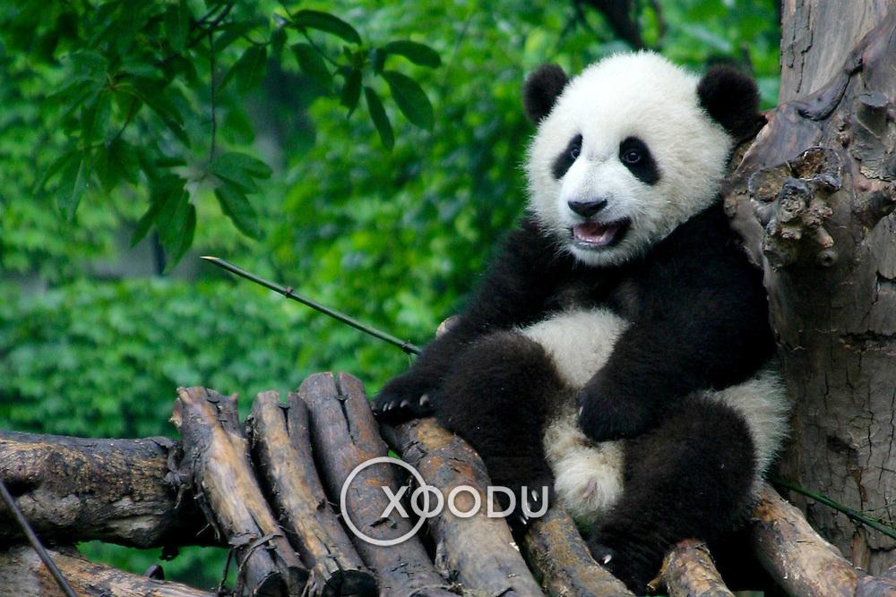 Baby panda looking slightly pissed off, Chengdu, China (May 2004)