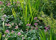 Astrantia major in a border at Stockton Bury Gardens, Kimbolton, Leominster, Herefordshire, UK
