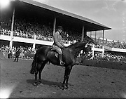 """04/08/1960<br /> 08/04/1960<br /> 04 August 1960<br /> R.D.S Horse Show Dublin (Thursday). The Well Known Dunboyne (Co. Meath) exhibitor, Mr N. Galway-Greer had a remarkable run of successes at the Horse Show. He set a new record when his five-year-old gelding """"Superb"""" won the perpetual champion cup for the best hunter in the show. This was the seventh time he had won the award.<br /> Picture shows """"Superb"""" S. Pennyfair by Penny Royal, ridden by Mr J. Gittens, winner of the Champion Hunter Award, the Joseph Widger Trophy."""