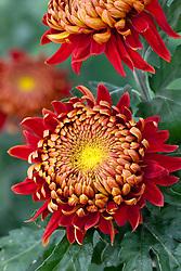 Chrysanthemum 'Hanenburg Red'
