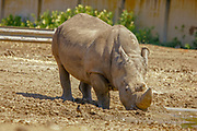 Close up of a Southern White Rhinoceros Ceratotherium simum
