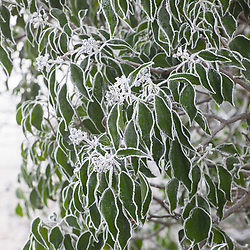 Common ivy in hoar frost. Hedera helix