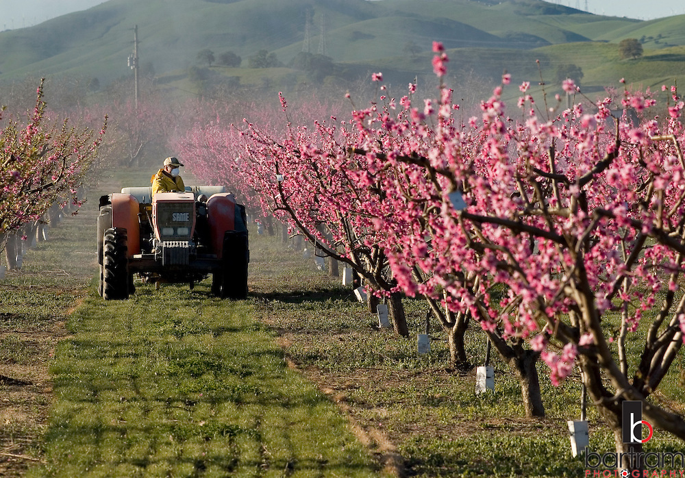 John Papini drives a tractor thorugh the orchard while spraying at Papini Farms on Concord Avenue in Brentwood, California. Papini says he grows nectarines, peaches, cherries and other fruit. Blossoms cover trees in the area as Spring begins.