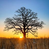 The sun rises over a 300 year old Burr Oak Tree.