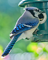 Blue Jay (Cyanocitta cristata). Image taken with a Fuji X-H1 camera and 200 mm f/2 lens + 1.4x teleconverter.