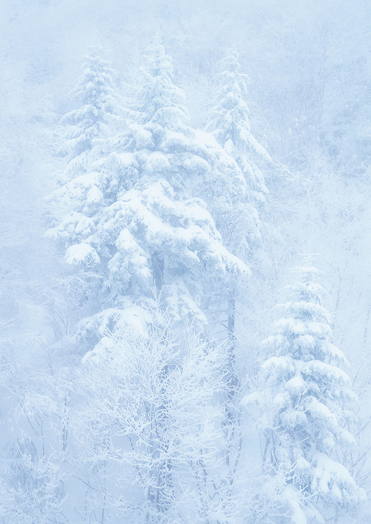 Snow covered trees in the Green Mountain National Forest, Vermont