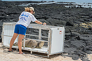 Julie Steelman ( volunteer with West Hawaii Marine Mammal Response Network ) pours water onto a problem 6 month old male Hawaiian monk seal, Neomonachus schauinslandi ( RN02 aka Kamilo ), to keep it cool while it is penned up so that it can be relocated to Niihau, Kailua-Kona, Hawaii ( the Big Island )