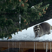 Raccoon, (Procyon lotor) On top of roof of home. Winter.  Captive Animal.