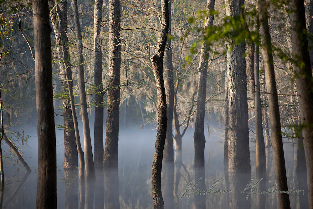 Early morning scene on the Suwannee river in Florida, near the confluence of the Suwannee and the Itchetucknee.