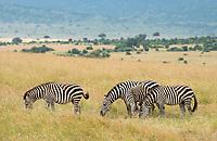 Grant's Zebras, Equus quagga boehmi, in Maasai Mara National Reserve, Kenya