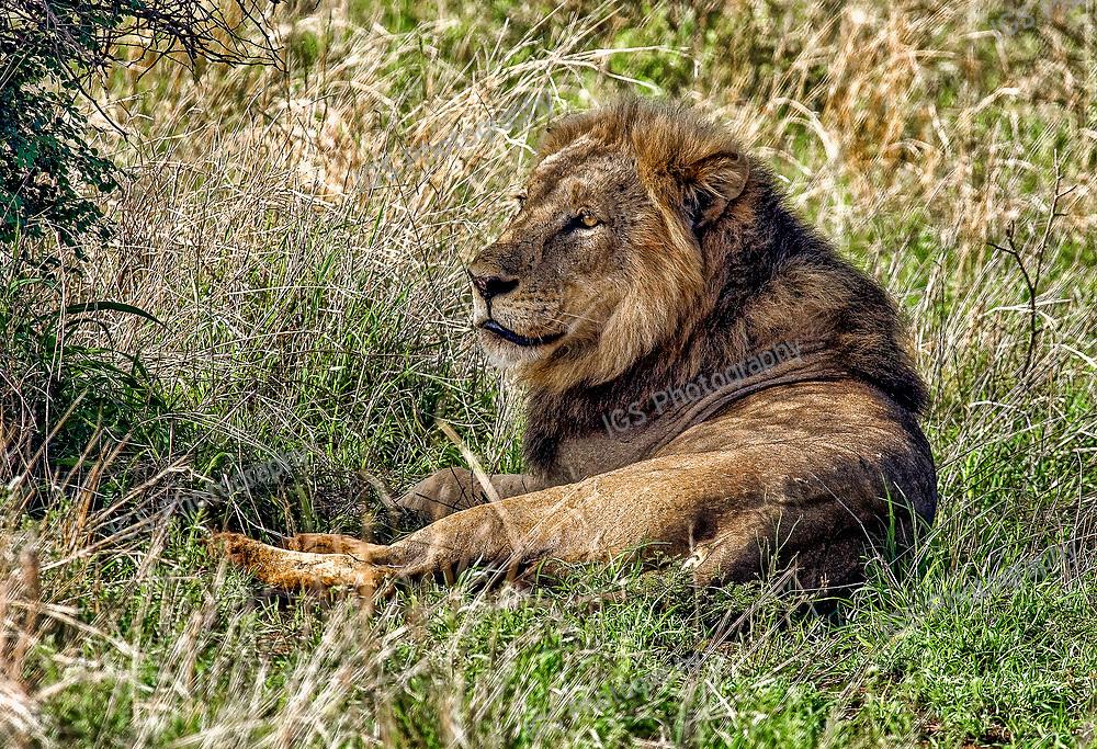 male lion, Greater Kruger National Park, South Africa