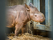 15 MAY 2019 - DES MOINES, IOWA: KAMARA, a baby eastern black rhinoceros on display at Blank Park Zoo in Des Moines. Kamara was born on April 5, 2019 and went on display last weekend. This is the second eastern black rhino born at Blank Park Zoo. The eastern black rhinoceros (Diceros bicornis michaeli) is also known as the East African black rhinoceros. It is a subspecies of the black rhinoceros. Its numbers are very low due to poaching for its horn and it is listed as critically endangered. There are fewer than 1,000 left in the wild.        PHOTO BY JACK KURTZ