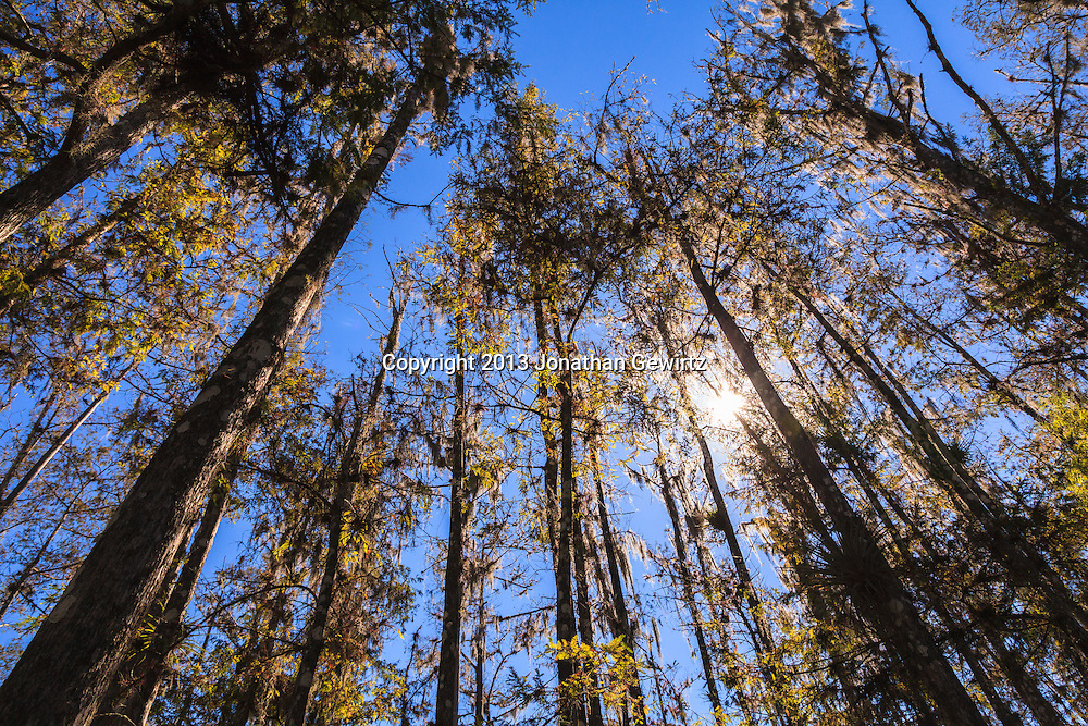 Looking up at the tops of cypress trees on Fisheating Creek in Florida's Fisheating Creek Wildlife Management Area (WMA). WATERMARKS WILL NOT APPEAR ON PRINTS OR LICENSED IMAGES.