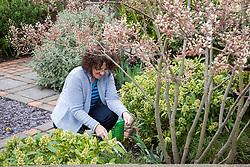 Feeding shrubs in a border with fertiliser (Growmore)