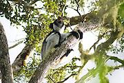 Madagascar, Perinet, An Indri, (Indri indri) the Largest Lemur, Howling in Alanamazaotra Reserve, Andasibe National Park