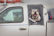 """A dog makes use of a makeshift window for some fresh air on June 30, 2019 in the Safeway parking lot in Ketchikan, Alaska. Safeway has a strict """"no dog"""" policy at the Ketchikan Location, but provides shelter and green areas for those who can wait while another shops."""