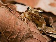 Striped Treefrog, Polypedates sp.