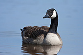 Canadian Goose Pictures - Photos