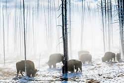 Bison foraging in a Yellowstone thermal area where the snow has greatly reduced by the warmer earth. Survival isn't easy in winter at these high elevations.
