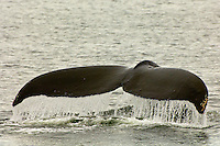 Humpback whales diving in Chatham Straight, Inside Passage, Southeast Alaska