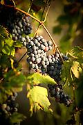 Vineyard on the Island of Sant'Erasmo. Venice, Italy, Europe