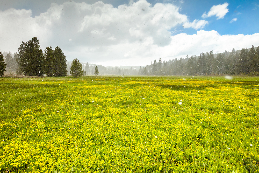 """""""Snowy Sagehen Meadows 4"""" - Photograph of snow lightly falling on a field of Buttercup wildflowers at Sagehen Meadows, near Truckee, California."""