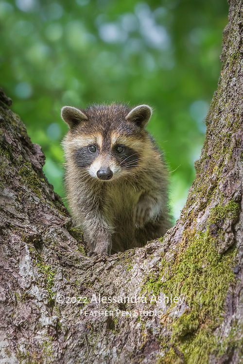 Curious raccoon (Procyon lotor) kit looks down at the world below from a safe tree perch,  and appears to wave paw. Photographed on nature preserve at Ohio Bird Sanctuary.