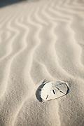 Sand dollar on the beach on the Isle of Palms, SC.