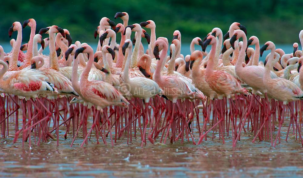 Lesser flamingos at Lake Bogoria, Kenya