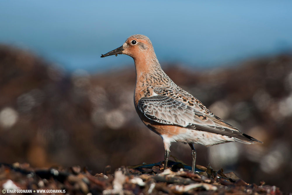 The Red Knot, Calidris canutus (just Knot in Europe), is a medium sized shorebird which breeds in tundra and the Arctic Cordillera in the far north of Canada, Europe, and Russia.