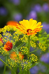 Calendula 'Indian Prince' with Dill - Anethum graveolens. English Marigold, Pot Marigold