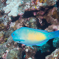 Bullethead Parrotfish, Chlorurus spilurus, (Valenciennes, 1840), Lanai, Hawaii