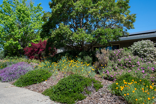A home garden in the South Land Park area of Sacramento, California, features lavender and California poppies, during the Sacramento Valley Native Plant Garden Tour. Photo taken April 27, 2019.  Florence Low / California Department of Water Resources, FOR EDITORIAL USE ONLY