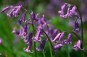 AF5GKF Bluebell wild flowers in close up English deciduous woods Suffolk England