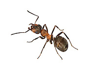 Wood Ant - Formica rufa