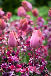 Tulipa 'Bruine Wimpel' with Erysimum cheiri - wallflower