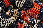 False Coral / Milk Snake (Lampropeltis triangulum micropholis)<br /> Andes<br /> ECUADOR<br /> Vivarium ID # 3243<br /> Captive