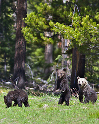 Three Grizzly Bear Cubs, Grand Teton National Park<br /> <br /> Contact for custom print options or inquiries about stock usage  - dh@theholepicture.com