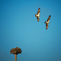 Top Gun Protecting His Mate and Nest. Osprey Aerial Battle. Fort Desoto County Park in St Petersburg, Florida. Image taken with a Nikon D700 and 28-300 mm VR lens (ISO 200, 300 mm, f/5.6, 1/1000 sec).