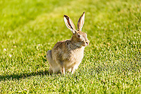 A white-tailed jackrabbit relaxing on the grass at Frank McCool Athletic Park<br /> <br /> ©2015, Sean Phillips<br /> http://www.RiverwoodPhotography.com
