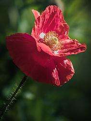 THEMENBILD - Klatschmohn, auch Mohnblume oder Klatschrose genannt, aufgenommen am 06. Juni 2019 in Uderns Oesterreich // a poppy flower, in Uderns, Austria on 2019/06/06. EXPA Pictures © 2019, PhotoCredit: EXPA/Stefanie Oberhauser