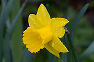A deep yellow Narcissus covered with raindrops.