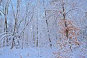 Snowfall on trees<br /> Muskoka Beach<br /> Ontario<br /> Canada